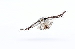 RF- Hawk owl (Surnia ulula) in flight, Finland. March. (This image may be licensed either as rights managed or royalty free.) - Danny Green
