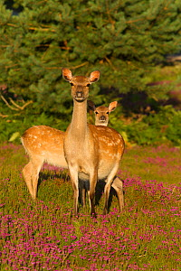 Sika deer (Cervus nippon) and fawn, Arne, Dorset, England, UK, June.  -  Peter  Lewis