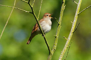Nightingale (Luscinia megarhynchos) singing in tree near Pulborough, West Sussex, England, UK, May. - Peter  Lewis