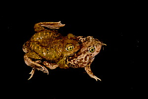 Couch's spadefoot toad (Scaphiopus coucii) mating after summer rains, Sonoran Desert, Arizona, USA, July.  -  John Cancalosi