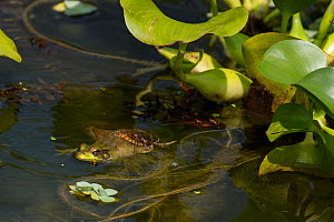 Northern water snake (Nerodia sipedon) eating Green frog, (Lithobates clamitans) amongst exotic water hyacinth, Washington DC, USA, July.  -  John Cancalosi