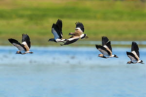 Southern lapwing 1+Vanellus chilensis+2 synchronized courtship display flight, La Pampa, Argentina  -  Gabriel Rojo