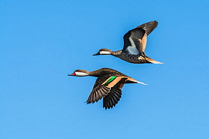 White-cheeked pintail, (Anas bahamensis) two in flight, La Pampa, Argentina  -  Gabriel Rojo