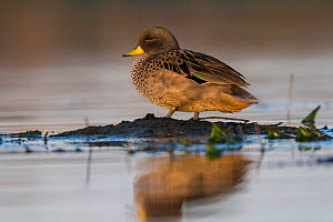 Yellow-billed pintail, (Anas georgica), La Pampa, Argentina  -  Gabriel Rojo