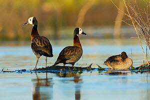 White-faced whistling duck (Dendrocygna viduata) group of three, La Pampa, Argentina.  -  Gabriel Rojo