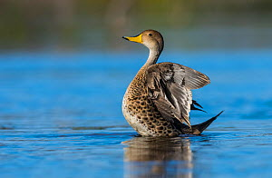 Yellow-billed pintail, (Anas georgica) stretching feathers, La Pampa, Argentina  -  Gabriel Rojo