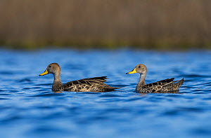 Yellow-billed pintail, (Anas georgica) two on water, La Pampa, Argentina  -  Gabriel Rojo