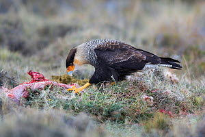 Southern crested caracara (Polyborus plancus) feeding on ground, Torres del Paine , Chile  -  Gabriel Rojo