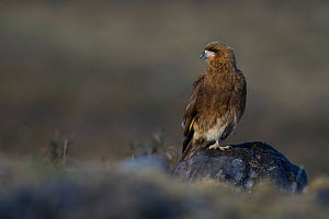 Mountain caracara (Phalcoboenus megalopterus) perched on rock, Torres del Paine National Park, Chile, June .  -  Gabriel Rojo