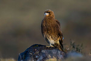 Mountain caracara (Phalcoboenus megalopterus) perched on rock, Torres del Paine National Park, Chile, June.  -  Gabriel Rojo