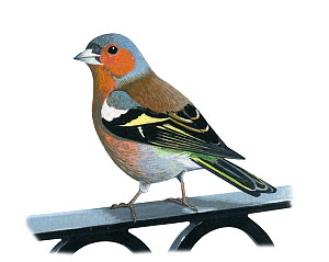 Chaffinch (Fringilla coelebs) male, illustration.  -  Chris Shields