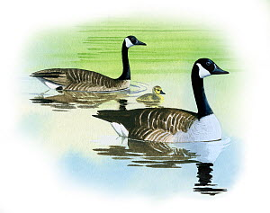 Canada goose (Branta canadensis) parents and goslings on water, illustration.  -  Chris Shields