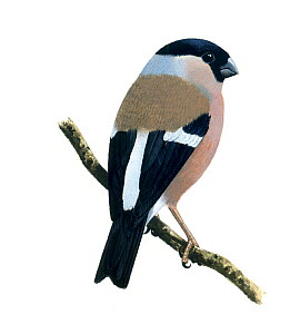 Bullfinch (Pyrrhula pyrrhula) female, illustration.  -  Chris Shields