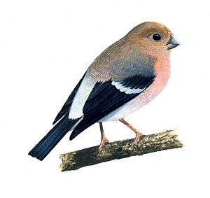 Bullfinch (Pyrrhula pyrrhula) juvenile, illustration.  -  Chris Shields