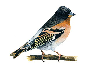 Brambling (Fringilla montifringilla) illustration.  -  Chris Shields