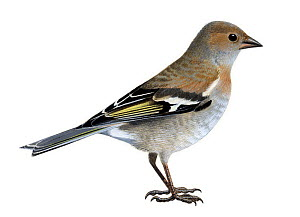 Chaffinch (Friniglla coelebs) female, illustration.  -  Chris Shields