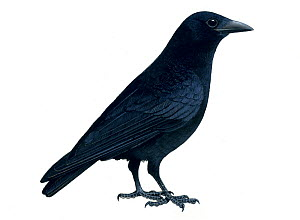 Carrion crow (Corvus corax) illustration.  -  Chris Shields