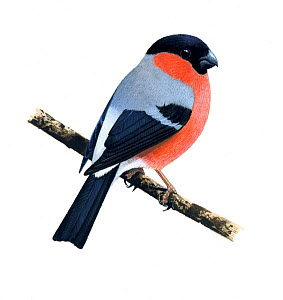 Bullfinch (Pyrrhula pyrrhula) male, illustration.  -  Chris Shields