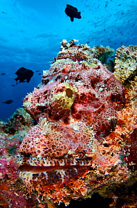 Tassled scorpionfish (Scorpaenopis oxycephala) lays an ambush as it rests in perfect camouflage on a coral reef. Baa Atoll, Maldives. Indian Ocean.  -  Alex Mustard