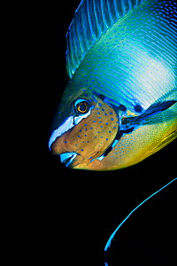 Bignose unicornfish (Naso vlamingii) profile of male displaying (the blue stripe at the bottom of the frame is the tail of another individual) Baa Atoll, Maldives. Indian Ocean.  -  Alex Mustard