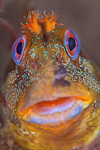 Tompot blenny (Parablennius gattorugine) portrait, Swanage Pier, Swanage, Dorset, UK, English Channel, August - Alex Mustard