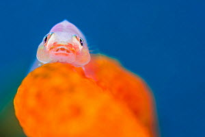Whip coral goby (Bryaninops amplus) on coral, Anilao, Batangas, Luzon, Philippines. Verde Island Passages, Pacific Ocean. - Alex Mustard