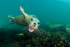 Grey seal (Halichoerus grypus) young seal opens its moutfh towards the camera, while swimming over a shallow bed of seaweeds (Fucus serratus) Lundy Island, Devon, UK. Bristol Channel. North East Altan...  -  Alex Mustard