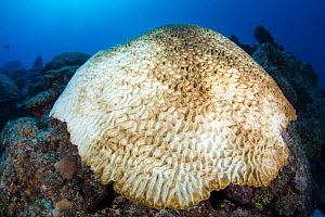 Boulder brain coral (Colpophyllia natans) bleached and growing on a coral reef, East End, Grand Cayman, Cayman Islands, British West Indies. Caribbean Sea.  -  Alex Mustard