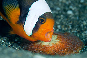 Saddleback anemonefish (Amphiprion polymnus) adult bares its teeth while guarding its newly laid eggs, Anilao, Batangas, Luzon, Philippines. Verde Island Passages, Pacific Ocean. - Alex Mustard