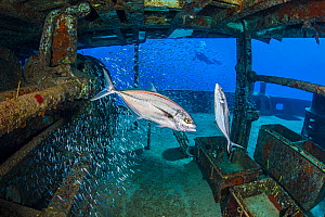 Bar jacks (Caranx ruber) pair hunting Silversides (Atherinidae) inside the wreck of the Kittiwake. Seven Mile Beach, Grand Cayman, Cayman Islands, Caribbean Sea - Alex Mustard