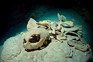 Green sea turtle (Chelonia mydas) skeleton deep in a dark cave on a coral reef, turtles breath air and occasionally get lost in caverns in coral reefs and die drowning. Rock Islands, Palau, Micronesia...  -  Alex Mustard