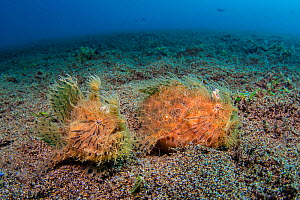 Hairy / Straited frogfish (Antennarius striatus) pair in their typical habitat, male on left, female on right panting with a belly fully of eggs. Dauin, Negros Island, Philippines. Bohol Sea, tropical... - Alex Mustard