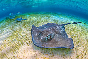 Southern stingrays (Hypanus americanus) large female and two smaller males forage over seagrass in shallow water, accompanied by Bar jacks (Caranx ruber) The Sandbar, Grand Cayman, Cayman Islands. Bri... - Alex Mustard