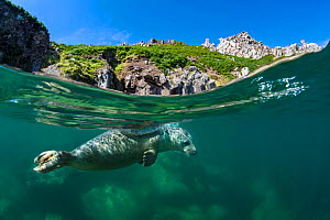 Grey seal (Halichoerus grypus) split level view of young swimming at the surface beneath the cliffs of Lundy Island, Devon, UK, Bristol Channel, August - Alex Mustard