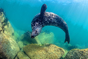 Grey seal (Halichoerus grypus) male swims in loops over granite boulders in the shallows. Lundy Island, Devon, UK. Bristol Channel. August - Alex Mustard