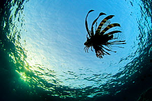 Lionfish (Pterois volitans) silhouettte of young fish swimming near the surface, Beacon Rock, Sha'ab Mahmood, Sinai, Egypt. Red Sea  -  Alex Mustard