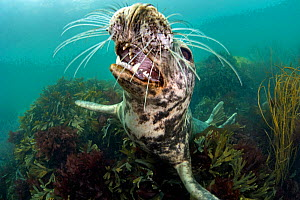 Grey seal (Haichaoerus grypus) young female opens her mouth playfully while she looks up from a bed of shallow seaweeds (Fucus serratus) Lundy Island, Devon, UK. Bristol Channel, August - Alex Mustard