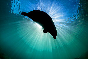 Grey seal (Haichaoerus grypus) large female silhouetted as it swims at the surface with a sunburst, Lundy Island, Devon, UK, Bristol Channel, August - Alex Mustard