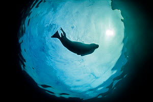 Grey seal (Haichaoerus grypus) silhouetted as it swims at the surface with a sunburst, Lundy Island, Devon, UK, Bristol Channel, August - Alex Mustard