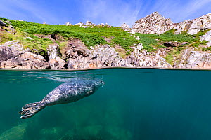 Grey seal (Haichaoerus grypus) split level view of young male swimming beneath the surface close to shore. Lundy Island, Devon, UK, Bristol Channel, August - Alex Mustard