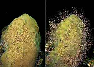 Mountainous star coral (Orbicella faveolata; previously Montastraea faveolata) two photos showing setting gamete bundles and then spawning them, East End, Grand Cayman, Cayman Islands, British West In... - Alex Mustard