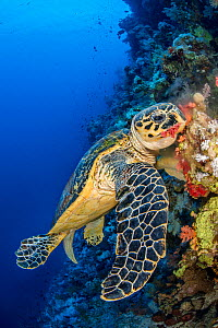 Hawksbill turtle (Eretmochelys imbricata) male chomps on soft coral. Jackson Reef, Sinai, Egypt. Strait of Tiran, Red Sea.  -  Alex Mustard