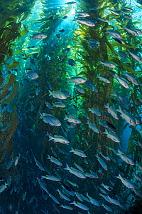 Blacksmiths (Chromis punctipinnis) school swam through a giant kelp (Macrocystis pyrifera) forest, Santa Barbara Island, Channel Islands. Los Angeles, California, USA,  North East Pacific Ocean.  -  Alex Mustard