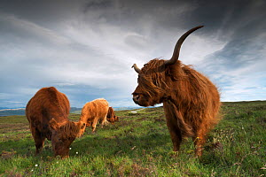 Group of Highland cows in the wind, Skye, Scotland, UK, June 2016  -  Benjamin  Barthelemy