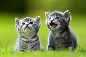 Domestic cat kittens, age 3 weeks, in garden, France  -  Benjamin  Barthelemy