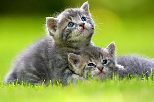 Domestic cat kittens, age 3 weeks, relaxing together, France  -  Benjamin  Barthelemy