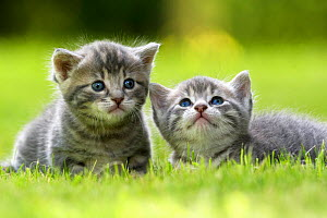 Domestic cat kittens, age 3 weeks, France  -  Benjamin  Barthelemy