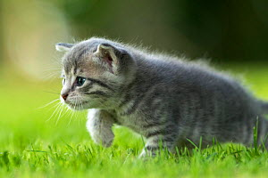 Domestic cat kitten, age 3 weeks, playing in garden, France  -  Benjamin  Barthelemy