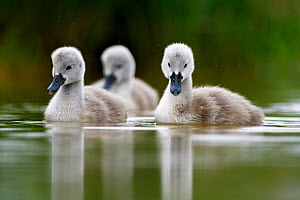 Mute swan (Cygnus olor) cygnets on water, Lac de Saint Point, Franche Comte, France, May - Benjamin  Barthelemy