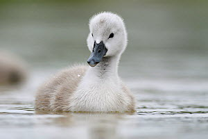 Mute swans (Cygnus olor) cygnet on water, Lac de Saint Point, Franche Comte, France, May.  -  Benjamin  Barthelemy